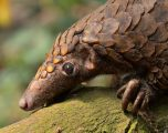 Covid-19 – a blessing for pangolins?