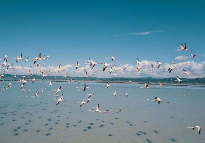 With Fewer Humans to Fear, Flamingos Flock to Albania Lagoon